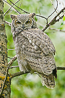 Great Horned Owl perched in a poplar tree