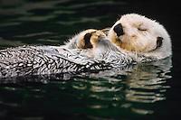 Sea otter (Enhydra lutris) resting