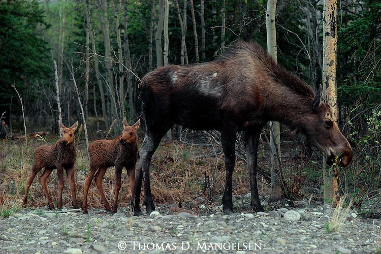 Twin moose calves follow their mother closely in Denali National Park, Alaska.