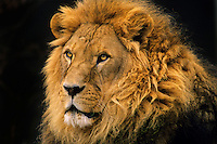 African lion (Panthera leo) male.(Oregon Zoo, Portland, Oregon)