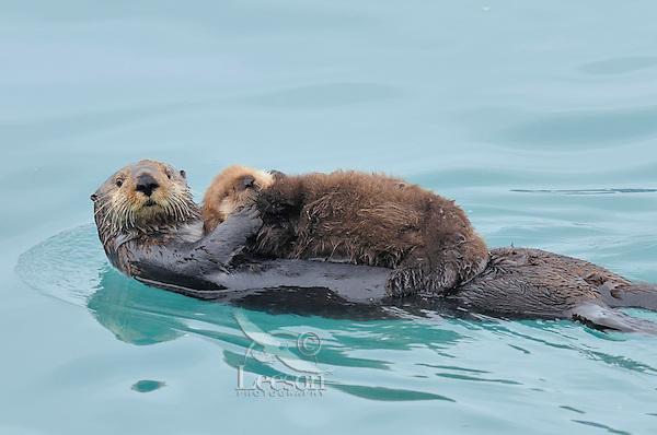 Alaskan or Northern Sea Otter (Enhydra lutris) mom carrying very young pup.  Alaska.