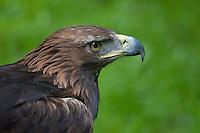 Steinadler, Portrait, Porträt, Schnabel, Hakenschnabel, Stein-Adler, Adler, Aquila chrysaetos, golden eagle