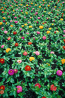 brightly colored zinnia flowers growing in field. plant, plants, cultivated flowers, flower, nursery. Texas.