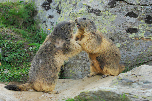 Alpine Marmot (Marmota marmota), adults playing, Saas Fee, Valais, Switzerland