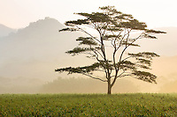 Lone tree in morning fog, Kauai, Hawaii