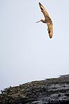 Marbled Godwit<br /> (Limosa fedoa) flying, Elkhorn Slough, Monterey Bay, California