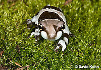 0305-0918  Froglet, Amazon Milk Frog (Marbled Tree Frog), Trachycephalus resinifictrix (formerly: Phrynohyas resinifictrix)  © David Kuhn/Dwight Kuhn Photography
