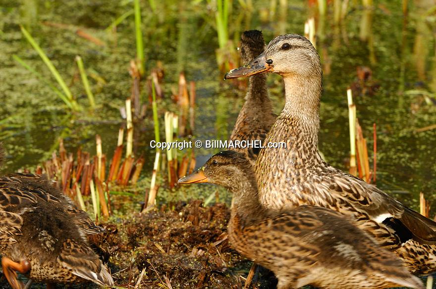 00330-081.12 Mallard Duck hen and half grown ducklings are in marsh typical of species.  Waterfowl, breed, hunt, wetland.  H4L1