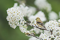 American Goldfinch (Carduelis tristis), adult in winter plumage on blooming pear tree (Pyrus sp.), Hill Country, Texas, USA