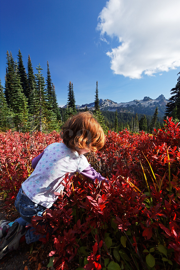 Young girl picking mountain huckelberries in autumn colored subalpine meadow, Paradise Meadows, Mount Rainier National Park, Washington, USA