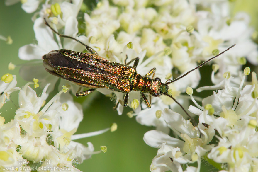 Thick-legged flower beetle {Oedemera nobilis} female feeding on on umbellifer flowers. Devon, UK. June.