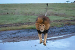 Sequence 4 of 5.<br /> <br /> An enormous lion leaps over a stream to avoid getting its paws wet.  The agile predator, which can grow to more than 600lbs, jumps nimbly across the shallow, two metre wide stretch of water.<br /> <br /> The images were captured by wildlife photographer and guide Grant Atkinson on the eastern side of the Serengeti National Park, Tanzania.  SEE OUR COPY FOR DETAILS.<br /> <br /> Please byline: Grant Atkinson/Solent News<br /> <br /> © Grant Atkinson/Solent News & Photo Agency<br /> UK +44 (0) 2380 458800