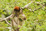 Eastern Red Colobus (Procolobus rufomitratus) sub-adult feeding on leaves in tree, Kibale National Park, western Uganda