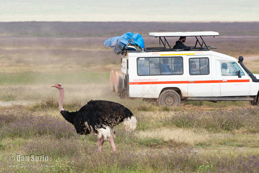 Male Common Ostrich, Struthio camelus, is passed by a safari vehicle in Ngorongoro Crater, Ngorongoro Conservation Area, Tanzania