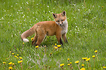 A red fox kit pauses in a meadow in Wyoming.