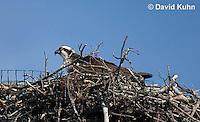 0608-0902  Osprey Sitting On and Caring for its Nest (Sea Hawk), Pandion haliaetus  © David Kuhn/Dwight Kuhn Photography