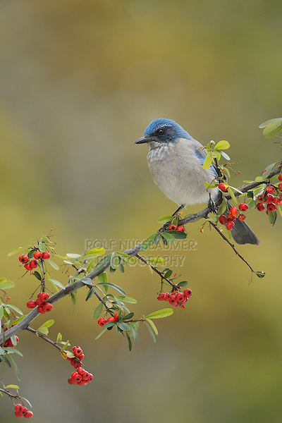 Western Scrub-Jay (Aphelocoma californica), adult perched on Firethorn (Pyracantha coccinea) with berries, Hill Country, Texas, USA