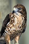 Broad winged hawk medium shot facing 45 degrees to camera looking left