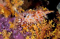 Marble shrimp, Saron sp., Witu, West New Britain, Papua New Guinea, Pacific Ocean