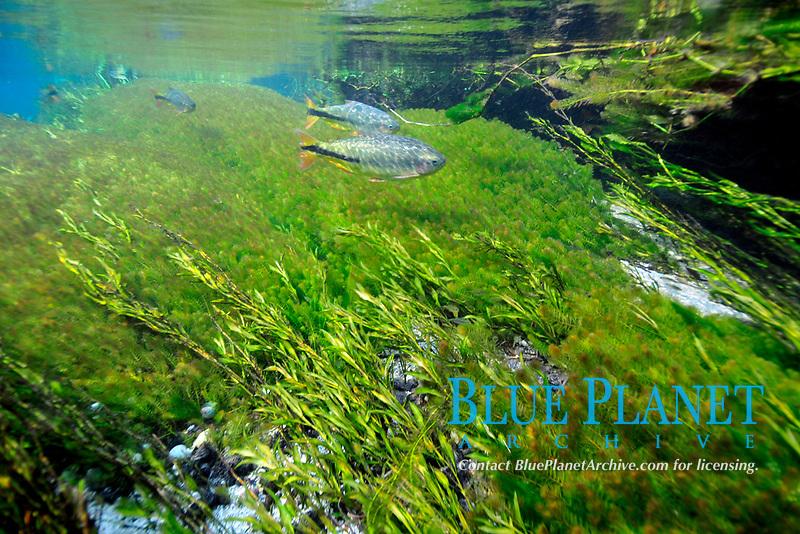 Characins or piraputangas, Brycon hilarii, swim by Underwater vegetation, predominantly stonewort algae, Chara rusbyana, at Sucuri River, Bonito, Mato Grosso do Sul, Brazil
