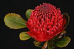 Waratah Flower - NSW State Emblem