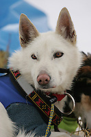 Aliy Zirkle's dog Heidi at the Kaltag checkpoint.  2005 Iditarod Trail Sled Dog Race.