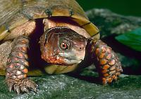 Box turtle close up on rock, Missouri USA