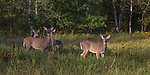 White-tailed deer in a northern Wisconsin field.