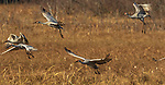 Sandhill cranes in Crex Meadows (northwestern Wisconsin).