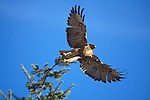 A Red Tail Hawk takes flight from the top of a tree in Montana