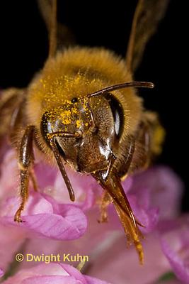 1B07-506z  Honeybee face,  antennae, compound eyes, tongue, Apis mellifera