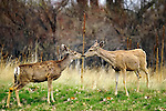 Two deer kissing in Cherry Creek State Park, Denver, Colorado