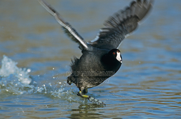 American Coot, Fulica americana,adult running on water, San Antonio, Texas, USA, November 2003