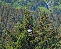 A bald eagle flies into the eagles nest to join its' nesting mate near Seward, Alaska.