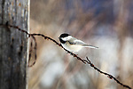 Black-capped chickadee perched on a barbed-wire fence