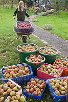 Apfelernte, Äpfel, Apfel-Ernte, Kultur-Apfel, Apfel - Ernte, Apfelbaum, Apfel - Baum, Reiche Apfelernte in Körben, Korb, Malus domestica, Apple, Pommier commun