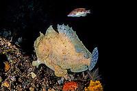 frogfish, Antennarius scriptissimus, Izu ocean park, Sagami bay, Izu peninsula, Shizuoka, Japan, Pacific Ocean
