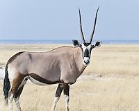 Oryx aka Gemsbok, on Fishers Pan, Etosha NP, Namibia