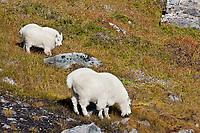 Mountain goat nanny and kid, Kenai Fjords National Park, Kenai mountains, Kenai Peninsula, southcentral, Alaska.