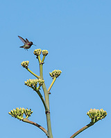 Male Anna's Hummingbird, Calypte anna, lands on an Agave in the Desert Botanical Garden, Phoenix, Arizona