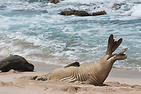 female Hawaiian monk seal, Neomonachus schauinslandi, Critically Endangered endemic species, stretches and lifts flippers while resting on beach at west end of Molokai Island, Hawaii, as if to show off flipper tags