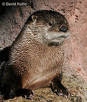 0806-0806  Northern River Otter, Lontra canadensis  © David Kuhn/Dwight Kuhn Photography.
