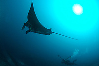 giant oceanic manta ray, Mobula alfredi, Raja Ampat, West Papua, Indonesia, Pacific Ocean