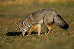 South American Gray Fox (Lycalopex griseus) smelling ground for roots, Torres del Paine National Park, Patagonia, Chile