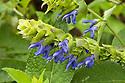 Salvia atrocyanea, mid October.