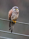 "Pictured:  The kestrel looking rather wet and a little soggy before shaking itself off.<br /> <br /> A kestrel appears to 'spin dry' itself by shaking its head vigorously after getting soaked in a downpour.  The bird of prey perches on a thin wire fence and periodically attempts to dry out its sodden feathers.<br /> <br /> The rare bird was photographed by retired university lecturer Michael Parnwell at a spot overlooking Cragg Vale, in West Yorkshire.  Prof Parnwell, 67, who lives in nearby Saltaire, said: ""I had noticed that every few minutes the kestrel would have a shake to dislodge the accumulating rain water, so I waited to try to capture this with a modicum of motion blur.  SEE OUR COPY FOR DETAILS.<br /> <br /> Please byline: Michael Parnwell/Solent News<br /> <br /> © Michael Parnwell/Solent News & Photo Agency<br /> UK +44 (0) 2380 458800"