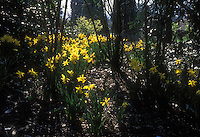 Narcissus Peeping Tom yellow Daffodils bulbs Division 6 in flower in spring