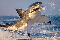 great white shark, Carcharondon carcharias, breaching on seal decoy, Seal Island, False Bay, South Africa, Atlantic Ocean
