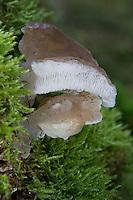 Gallertiger Zitterzahn, Eispilz, Eiszitterpilz, Zitterpilz, Gallertstacheling, Zitterzahn, Pseudohydnum gelatinosum, Hydnum gelatinosum, toothed jelly fungus, false hedgehog mushroom, cat's tongue, white jelly mushroom