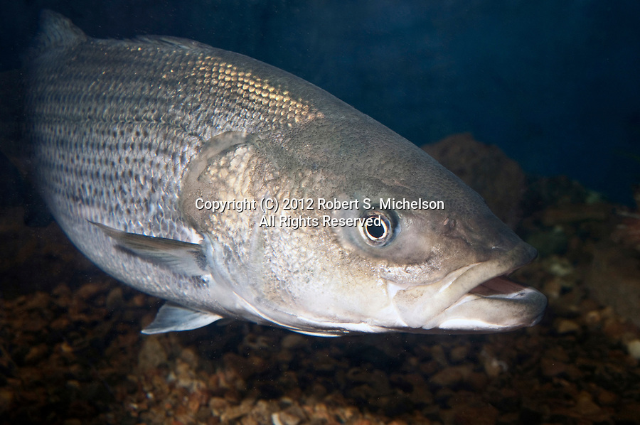 Striped Bass full body view 45 degrees to camera facing right